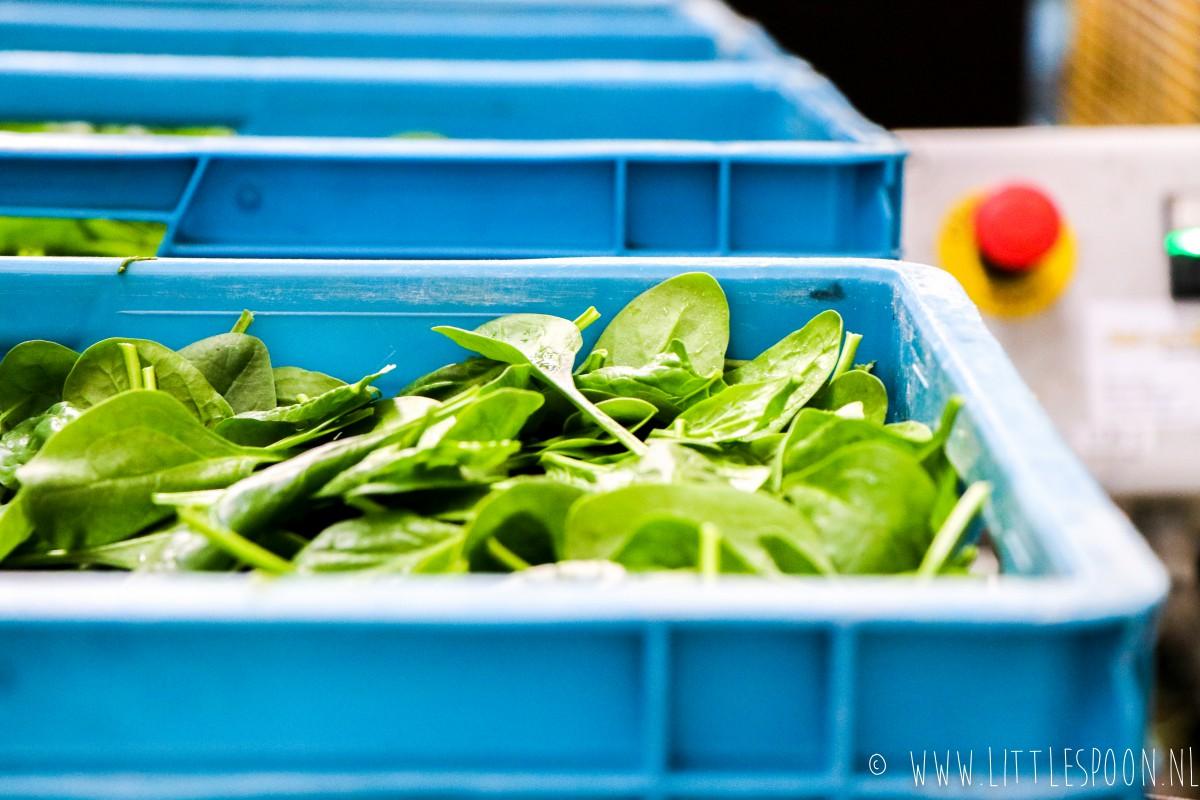 Bij de spinazieboer in Lutjebroek en linzensalade met spinazie, biet en danablu